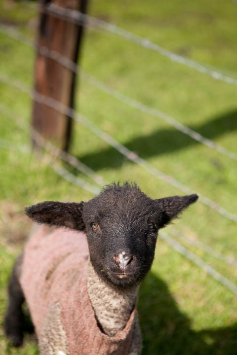 Lamb at Solstice Farmstay in Port Townsend